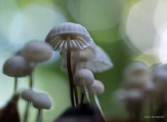 Revival (Eden Bromfield) Tags: horsehairmushroom marasmius pinwheelmushroom desiccation revival rehydration fungus mushroom olympusem1 canada quebec rain moisture