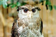 Male Murray Eagle Owl, Atom of Ueno Zoo :  (Dakiny) Tags: 2016 autmn september japan tokyo taito ueno outdoor nature park uenopark zoo uenozoo creature animal bird raptor birdofprey owl eagleowl murrayeagleowl nikon d7000 sigma apo 70200mm f28 ex hsm apo70200mmf28exhsm sigmaapo70200mmf28exhsm nikonclubit