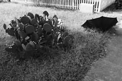 cactus and umbrella (Nashville Street Photography) Tags: nashvilletn tennessee streetphotography ricohgrd ricohgr ricohgrdiv ricohimages