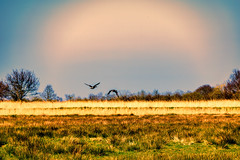 Flying Home (C.G.Photos) Tags: norfolkbroads eastanglia england landscapes potterheigham norfolk marshes