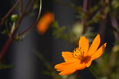 DSC_0125 (Kelson Souza) Tags: flor flores primavera flower flowers natureza beleza jardim jardinagem garden gardens colorido floricultura petalas ptalas florescer
