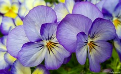 Floral Days (Ruby_Louise) Tags: pansy purple colourful bright summery tones flowers garden plants homegrown