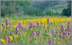 Fields of Color (tdlucas5000) Tags: california flowers bokeh canyon malibu wildflowers bouquet clover owls goldfields