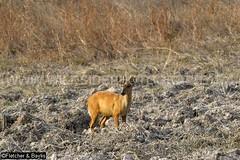 37946 Northern red muntjac (Muntiacus vaginalis) in a seasonal waterhole (trapeang) in dry deciduous forest during the dry season, Mondulkiri Protected Forest, Mondulkiri, Cambodia. IUCN=Least Concern. (K Fletcher & D Baylis) Tags: animal fauna mammal asia cambodia wildlife deer waterhole indochina muntjac barkingdeer mondulkiri muntiacus trapeang leastconcern wildsidephotography drydeciduousforest srepok fletcherbaylis easternplainslandscape northernredmuntjac muntiacusvaginalis mondulkiriprotectedforest srepokwildernessarea