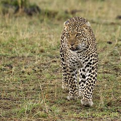 Focussed! (Jambo53 (catching up)) Tags: cat kat kenya wildlife hunting whiskers safari leopard elusive predator conservancy masaimara eastafrica luipaard sigma50500 snorharen pantherapardus roofdier transferring robertkok nikond800 jambo53 oostafrika
