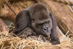 2015-03-15-11h01m30.BL7R6715 (A.J. Haverkamp) Tags: zoo gorilla thenetherlands nala kerkrade dierentuin lowlandgorilla westelijkelaaglandgorilla canonef100400mmf4556lisusmlens pobkerkradethenetherlands gaiazoo pobbekesbourneengland httpwwwgaiazoonl tamidol dob21121998 dob18012015