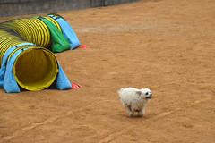 agility265 (jaimekay16) Tags: dog training austin agility k9 xpress nadac k9x