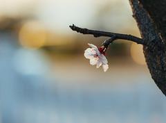 spring (mnhoj) Tags: flowers springtime floweringplum nex6 sigma60