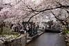cherry blossoms, Kiyamachi, Kyoto (jtabn99) Tags: japan river cherry kyoto blossom takasegawa kiyamachi