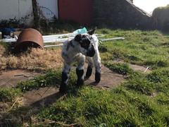 Our fleecy friend