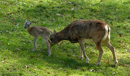 Biotopwildpark Anholter Schweiz - Mouflon baby 5 days old