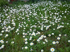 ... ! DSC03748 (amalia_mar) Tags: flowers white green spring country greece wildflowers  wellow        sonyericssone10i
