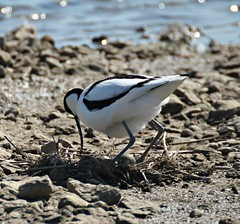 Just Checking (In Memory of ColGould) Tags: nest southport avocets marshsiderspb