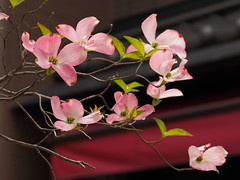 (penpus) Tags: japan  nara omd  cornusflorida   em5