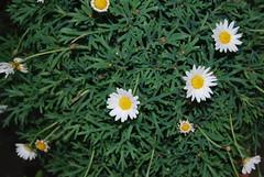 Ihr Gräslein, ihr Gräslein, wo kommet ihr her (amras_de) Tags: flower primavera fleur spring flor jar blomma prima fiore lente blüte blomst printemps vor tavasz virág ver frühling lore ware vår bloem jaro blóm wiosna floro kwiat flos forår ciuri primavara pavasaris kvet kukka cvijet flouer bláth cvet zieds õis proljece printempo earrach floare pomlad blome žiedas fréijoer