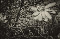 Maggie Mae (Crick3) Tags: spring blossom nik toned magnolias