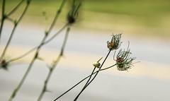 wild garlic (Dotsy McCurly) Tags: wild garlic plant nature beautiful side road nikon d750 dof bokeh nj