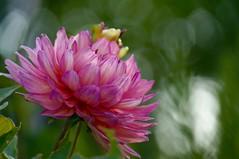 Garden Delight (fxdx) Tags: garden delight flower bokeh nex6