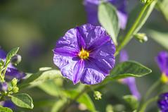 Enzian Blte (milance1965) Tags: flora sony blau garten enzian sonya55