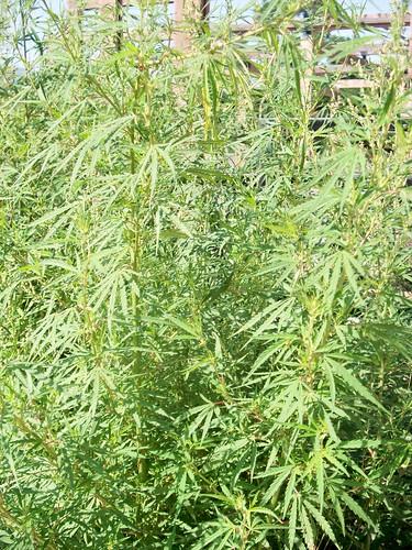 Cannabis at Uplistsikhe, Georgia