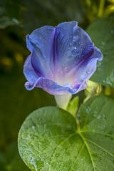 morning glory (yaz62) Tags: flowersplants july2016 morningglory