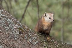 Pine Marten - 1435 (NicoleW0000) Tags: pine marten wild wildlife photography