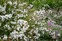 WWG12DSC_5753 (kjemem) Tags: orkney scotland wookwickhouse flower flowers
