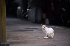 DSC05811 (C*A(t)) Tags: cat straycat taiwan taipei taipets sony a7s