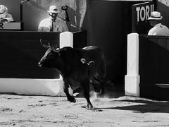 Saltillo (aficion2012) Tags: ceret 2016 saltillo corrida france francia toro toros toreaux bull fight bw monochrome monotone