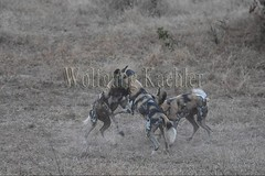 10075536 (wolfgangkaehler) Tags: africa playing nationalpark african wildlife predator zambia africanwilddog southernafrica predatory 2016 africanhuntingdog zambian southluangwanationalpark africanwilddoglycaonpictus