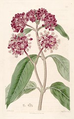 Swamp Milkweed (1817) (Swallowtail Garden Seeds) Tags: butterflyweed milkweed asclepias swamp pink flowers botanicalregister edwards illustration botanicalillustration botanical vintage incarnata volume3 plate250 1817 19thcentury plant publicdomain swallowtailgardenseeds