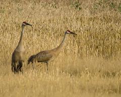 Sandhill Cranes in wheat field. (pattyg24) Tags: summer plant bird nature wisconsin wheat sandhillcranes horiconmarsh