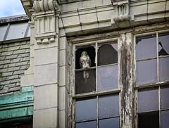 Fledgling hawk visits CHARAS (Goggla) Tags: nyc new york manhattan east village tompkins square park urban wildlife bird raptor red tail hawk fledgling juvenile charas broken window
