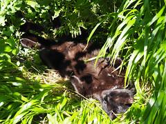 Kater Kocio Relax (arjuna_zbycho) Tags: blackcat tuxedo tuxedocat kater hauskatze cat animal cute animals pets gato kitten feline kitty kittens pet tier haustier katzen gattini gatto chat cats kocio
