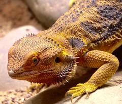 Echse (heiko.moser) Tags: color nature animal closeup canon zoo tiere natur natura tierpark animale nahaufnahme tier echse heikomoser
