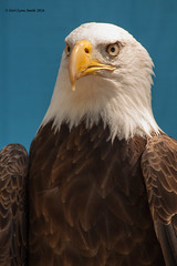 Your Majesty (gerilynns) Tags: blue white bird yellow boston outdoors beak feathers predator americanbaldeagle majesti
