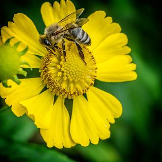 My Meyer-Görlitz Primagon 4.5/35mm discovers its first bee ;-)