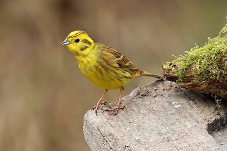 YELLOWHAMMER....Male....Powys....press L