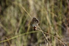 Licnido (esta_ahi) Tags: santpaudordal mariposa papallona butterfly lycaenidae insectos fauna lepidoptera polyommatinae polyommatini peneds barcelona spain espaa