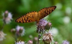 fritillary on spotted knapweed (devoutly_evasive) Tags: ontario canada northern northwestern northwesternontario wildflowers purple orange brown