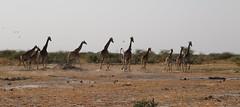 Giraffe Run (www.mattprior.co.uk) Tags: adventure adventurer journey explore experience expedition safari africa southafrica botswana zimbabwe zambia overland nature animals lion crocodile zebra buffalo camp sleep elephant giraffe leopard sunrise sunset