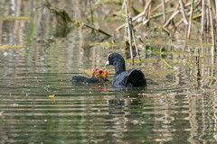 Coot Family  |  Blsshuhn Familie (abritinquint Natural Photography) Tags: bird vogel natural wildlife nature wild nikon d750 telephoto 300mm pf f4 300mmf4 300f4 nikkor teleconverter tc17eii pfedvr luxembourg remersch remerschencoot family familie blasshuhn water lake