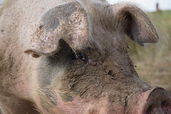 Tomorrow's Bacon (Let Ideas Compete) Tags: pig hog face eye eyes mud muddy animal farmanimal dirty nose nostrils snout