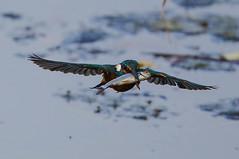 Kingfisher Female Alcedo atthis 001-1 (cwoodend..........Thanks) Tags: 2016 brandon brandonmarsh steetleyhide westmarshpool wwt warwickshirewildlifetrust kingfisher kingfisherfemale alcedoatthis