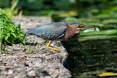 Green Heron Rematch! (Scott Jamison) Tags: greenheron heron fish fishing manualfocus hunting plumage