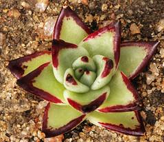 IMG_6874_m_297 (scenescape-partners) Tags: cactus india plant succulent aloe nursery lithops euphorbia variegated agave haworthia cycas rare sansevieria gasteria zamia jatropha scenescape caudiciform monstrose encphalartos