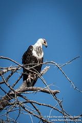 Fish Eagle In The Okavango Delta, Botswana