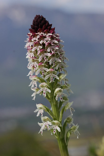 Burnt-tip Orchid - Neotinea ustulata