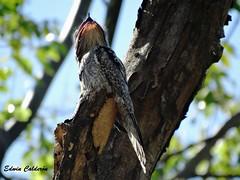Pájaro Estaca/Northern Potoo (Nyctibius jamaicensis) (Edwin Calderón) Tags: aves elsalvador northernpotoo nyctibiusjamaicensis