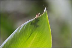 Hemidactylus frenatus — Common (Asian) House Gecko (SergeK ) Tags: parque costa house green leaf costarica bokeh rica vert lizard explore manuel gecko antonio common transparence 2015 frenatus hemidactylus sergek